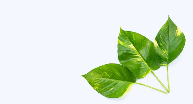 Green yellow golden pothos or devil's ivy leaves on white surface