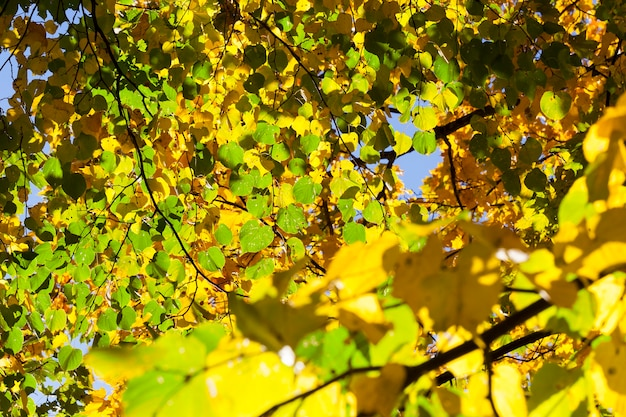 Green and yellow linden leaves in autumn season. focus on the foreground.