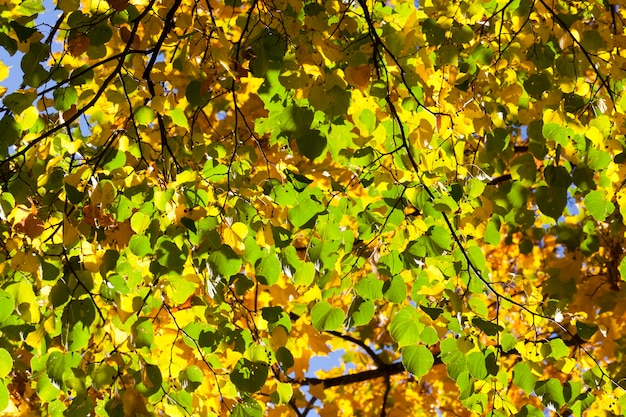 Green and yellow linden leaves in autumn season