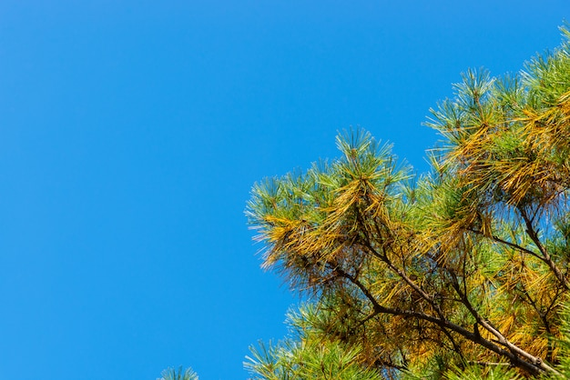 Green and yellow needles in pine on blue sky.