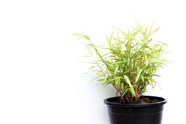 흰색 바탕에 냄비에 녹색 노란색 식물입니다. 티르소스타키스 시아멘시스 갬블 또는 고양이 대나무의 상위 뷰