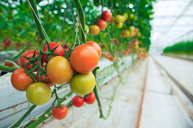 Green, yellow and red tomatoes hanged from their plants inside a greenhouse, close view.