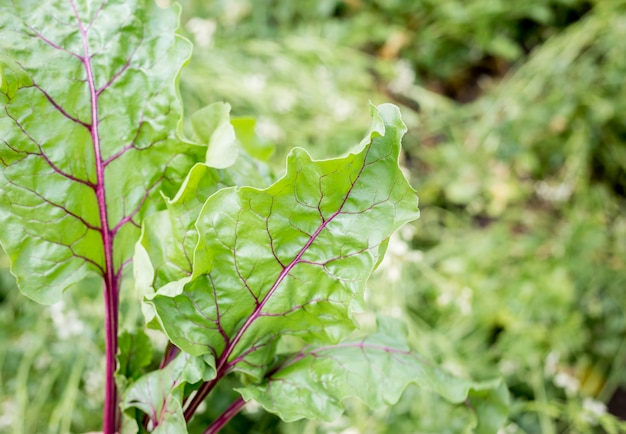Green young beet sprouts