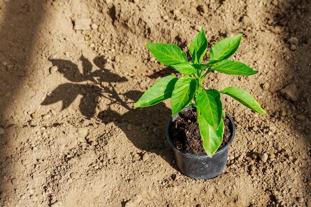 植える前に地面にプラスチック製の鉢に緑の若いピーマンの苗。有機農業。野菜を育てる。