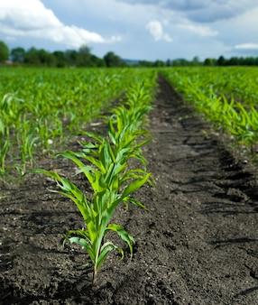 農業農場の緑の若いトウモロコシ植物トウモロコシ苗
