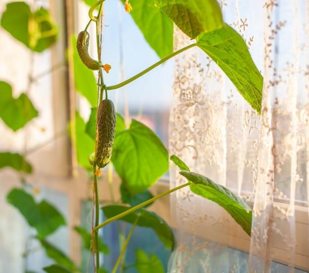 노란색 꽃과 녹색 젊은 오이. 온실에 미니 오이 식물이 있는 원예 배경. 발코니 정원용 미니어처 오이 작은 오이. 미니 오이는 집 정원에서 자랍니다.