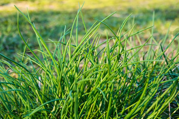 Green young leaves spring onion plants in plantation