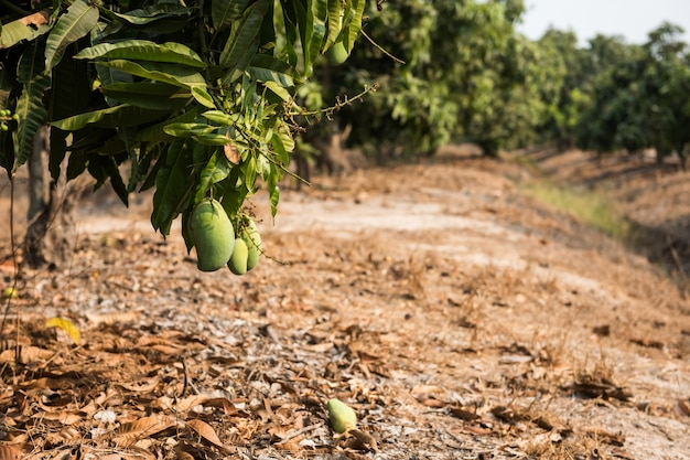 Green young mangoes in farm at harvest