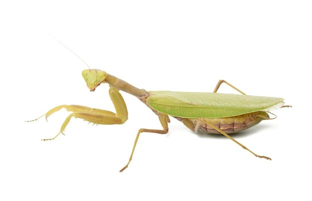 Зеленый молодой богомол сидит на белом, изолированное насекомое