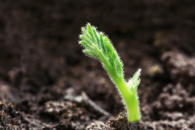 Green young seedling sprout growing out from soil