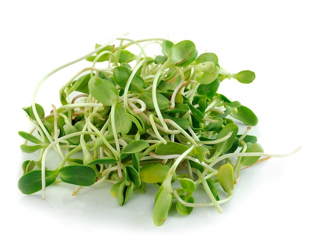 Green young sunflower sprouts isolated