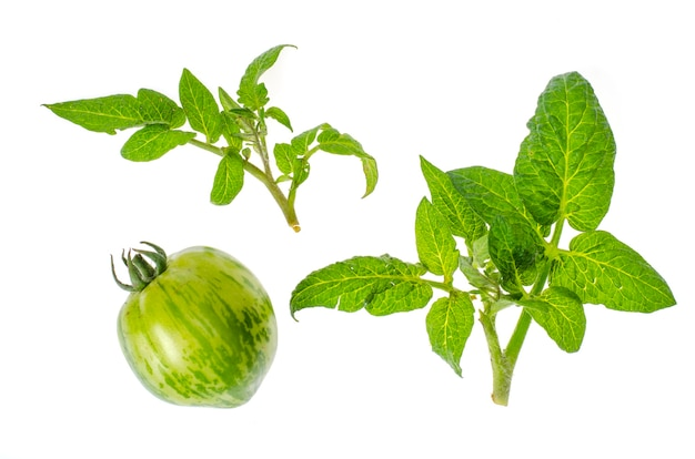 Green young tomato leaves isolated.