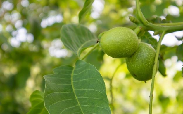 木の上の緑の若いクルミ。クルミの木は収穫されるのを待って成長します。クルミの木がクローズアップ。緑の葉の背景。
