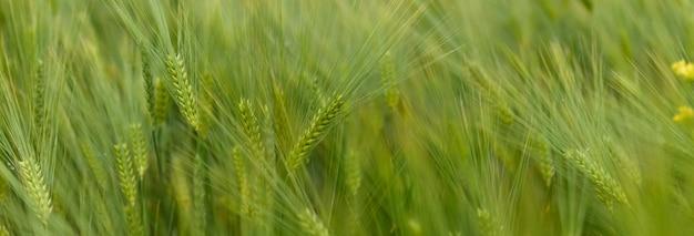緑の若い小麦のクローズアップ。