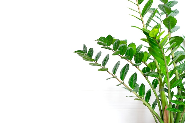 Green zamioculcas zamiifolia plant with white pot on wooden table house plant, home decor concept