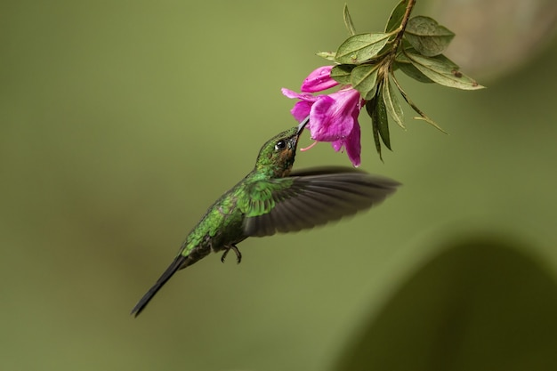 Greencrowned brilliant feeding in flight from a blooming flower head