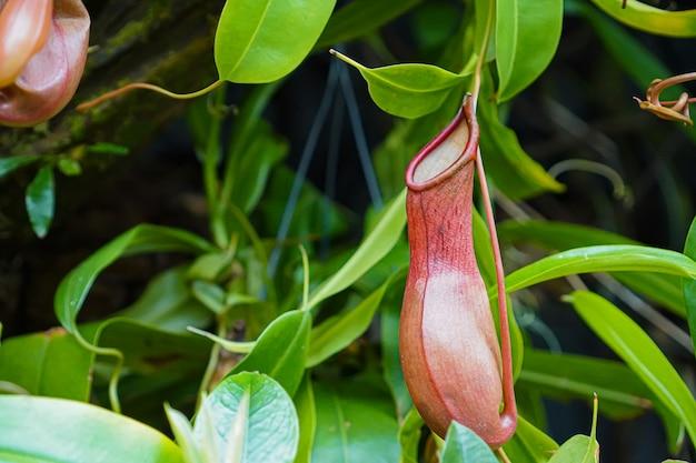 Зелень, крупный план на nepenthes или плотоядных растениях с зелеными листьями вокруг
