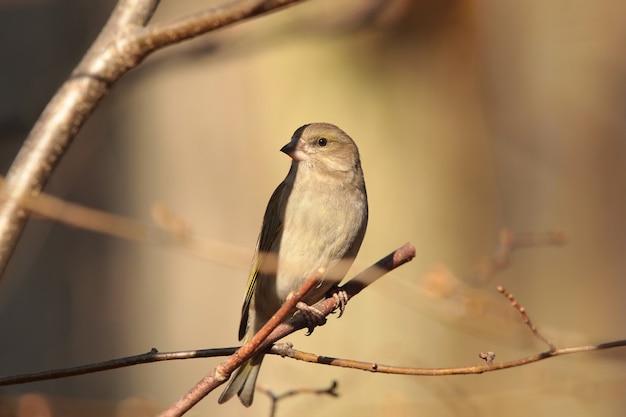나뭇 가지에 greenfinch (carduelis chloris)