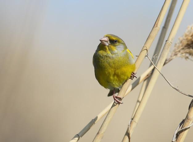 Greenfinch 초상화