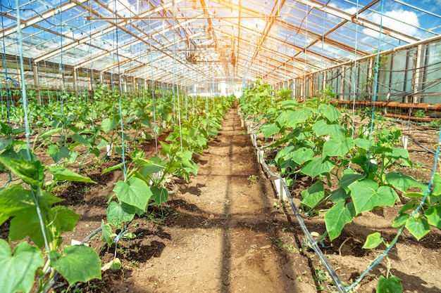 Greenhouse on the farm for growing healthy vegetables without chemistry in organic quality
