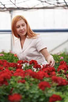 ゼラニウムの花の収穫を注意深く見ている温室の所有者