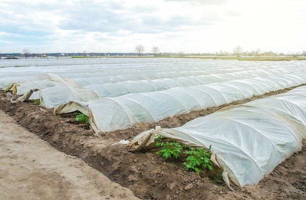 Greenhouse tunnel rows of a potato plantation covered with a plastic film protecting from frost