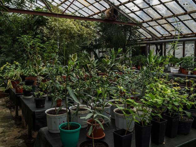 Теплица с большим количеством разных цветов в горшках на столах. комнатные растения в остекленной теплице