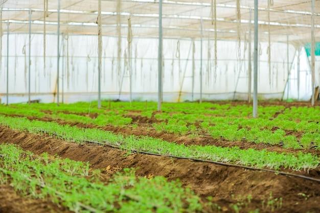 コリアンダーとフェヌグリーク植物のある温室