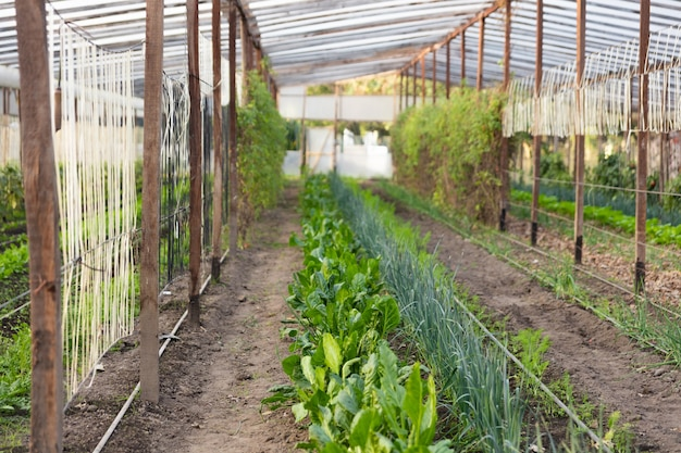 Greenhouse with green crops