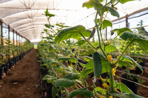 오이를 생산하는 식물이 있는 온실.