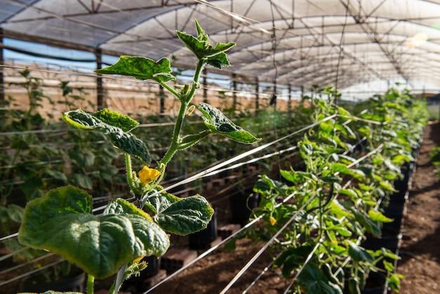 キュウリを生産する植物のある温室