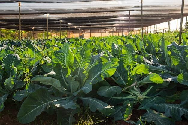 콜리플라워를 생산하는 식물이 있는 온실.
