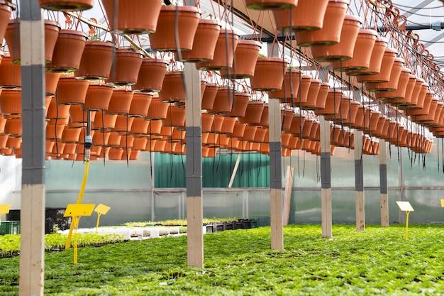 묘목이있는 온실 성장 및 화분 매달려
