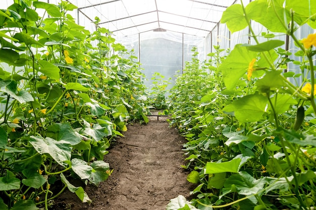 Greenhouse with tall and lush cucumber bushes