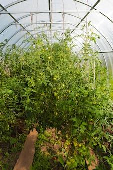 トマトの温室。閉じた透明な部屋での農業、ガーデニング、野菜の栽培。夏