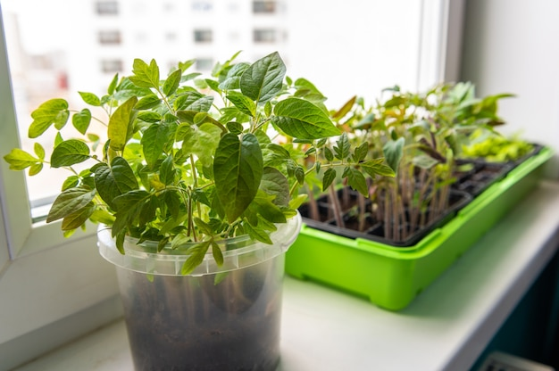 Greens grows on the windowsill of the house