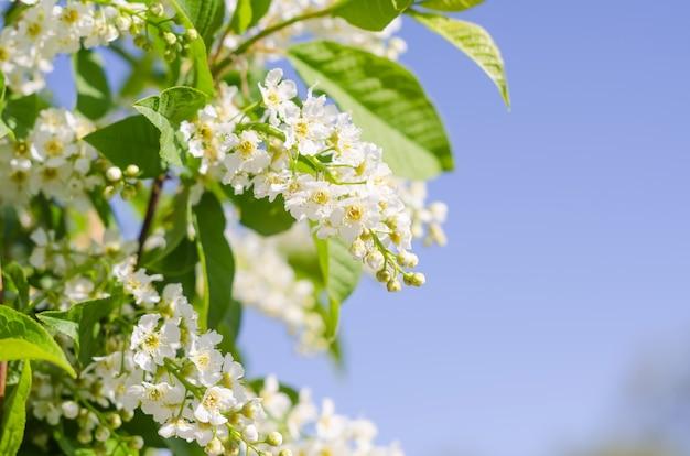 인사말 카드 배경, 선택적 초점 복사 공간이 파란색 배경에 섬세한 벚꽃 꽃