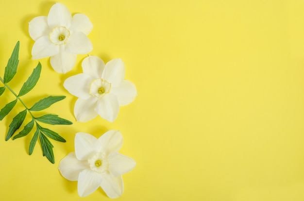 Greeting card background, delicate narcissus flowers on yellow background with copy space