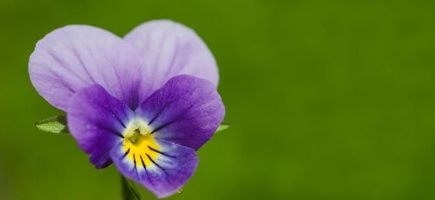 인사말 카드 배너 배경, 복사 공간 녹색 배경에 섬세한 보라색 꽃