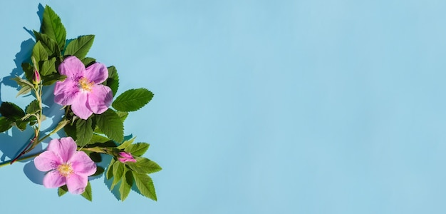Greeting card banner, delicate pink rose hips flowers on a blue background with copy space with hard light
