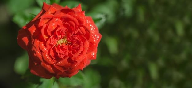 グリーティングカードのバナー、緑に赤いバラの花