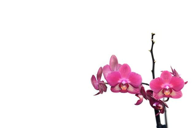 Открытка с красивыми розовыми цветами орхидеи цветут на белом фоне справа и свободным пространством для текста