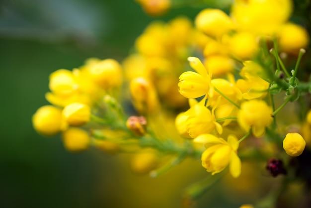 Greeting card with close up fresh aromatic mahonia aquifolium flower against blurred background.