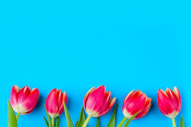 Greeting card with frame from fresh tulips on blue background. . flat lay mockup for your lettering or copy space for text