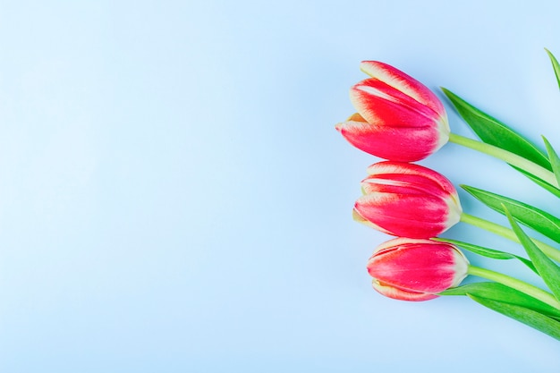 Greeting card with frame from fresh tulips on blue background.