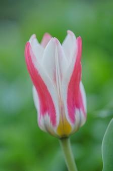 チューリップgreigiiメアリーアンの美しい花