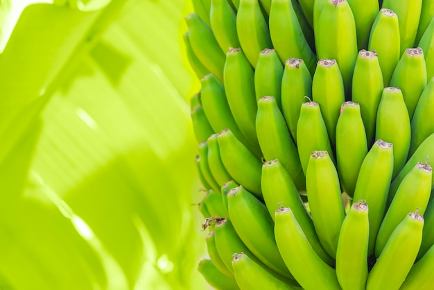 Grenn bananas on a palm. cultivation of fruits on tenerife island plantation. young unripe banana with a palm leaves in shallow depth of field. closeup.