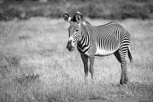 Grevy zebra in samburu is standing in the grassland in the savannah