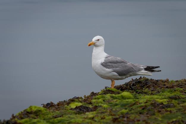 Серая и белая чайка на скалах