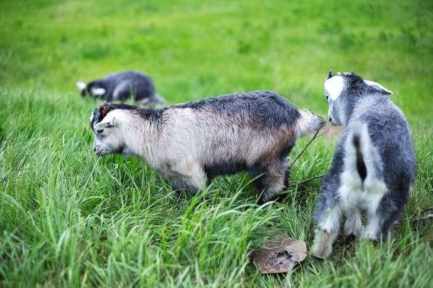 Серые козочки в зеленом поле.